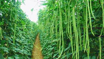 万博官网手机版网页版登录豇豆不仅品质好,而且产量大