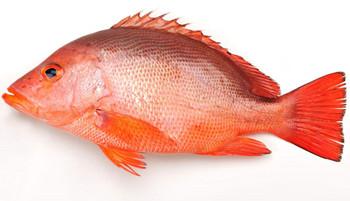 万博官网手机版网页版登录赤鳍笛鲷(红鱼)