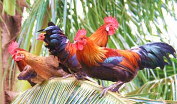 万博官网手机版网页版登录山鸡:能飞善跑肉质细嫩鲜美香味浓