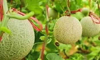 万博官网手机版网页版登录南繁院在印尼试种设施甜瓜获得成功
