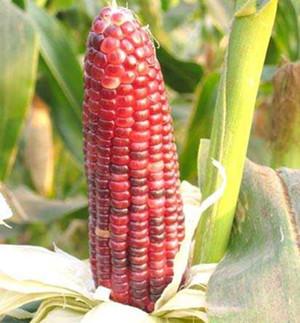 南繁玉米糯1号玉米比对照增产16.9%