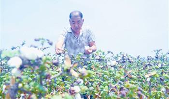 南繁棉花新品种石远321:对照增产26.5%