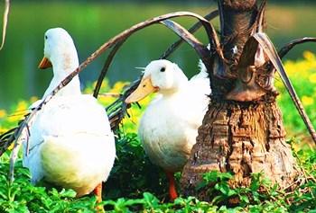 万博官网手机版网页版登录清塘湾坡鸭:口感清淡,不肥不腻,松软酥口