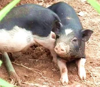 雅亮老鼠猪:肉质紧实却又嫩滑