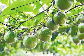 保亭:打造热带农业品牌,推动农业提质增效