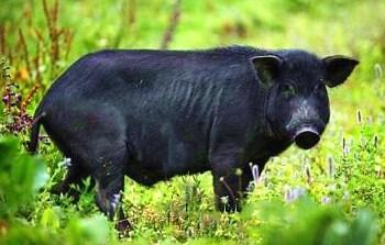 澄迈加乐黑猪:平日吃豆渣,肉质鲜美,营养丰富