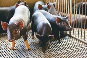 瑞今黑猪肉肉质细嫩鲜美,口感佳,生态健康