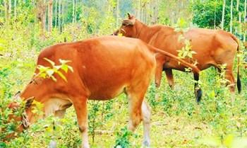 澄迈小黄牛肉纤维较细,颜色深红,水分低,肉质好