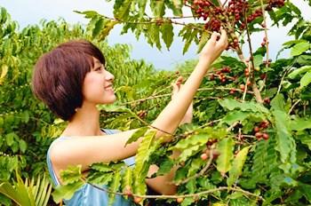 澄迈福山从荒草满坡到游客纷至,咖啡产业功不可没