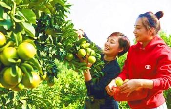 金秋时节,澄迈福橙将迎来收获季