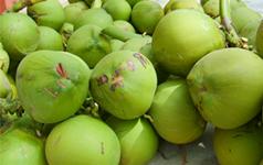 文昌椰子:文昌特产,全国农产品地理标志产品