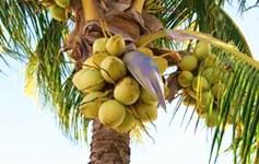 文昌将椰子种植面积增至33万亩年产椰果超过2亿个
