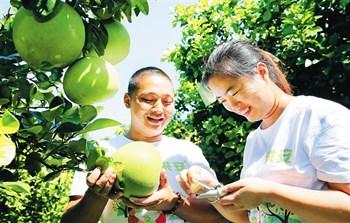 澄迈无籽蜜柚:重点发展的特色高效农产品之一