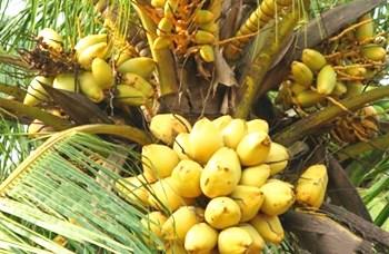 文椰系列:矮种椰子投产早产量高提前三年结果