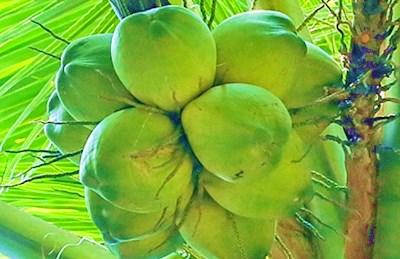 文昌:阳光东海岸盛产好椰子