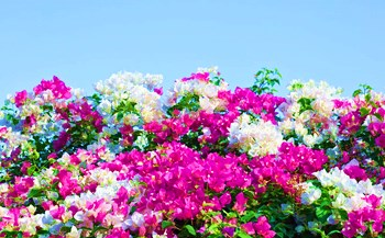 万博app官网下载三角梅:树势强健,色彩艳丽,缤纷多彩