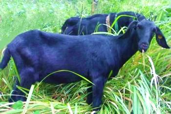 琼中黑山羊:肉质自然更加肥美、鲜嫩、甘甜