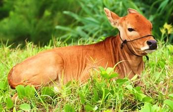 琼中小黄牛:野外散养,肉质细嫩、味道鲜美