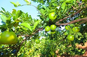 琼中绿橙:独特气候造就万博苹果手机登录版首个地理标志证明商标