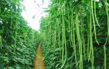 乐东豇豆:味道鲜美,食用方法多种多样